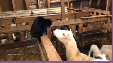 Cat is picking a fight with a sheep